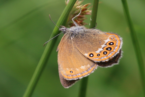 Coenonympha hero (71) CR